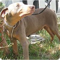 Adopt A Pet :: Cooper - Sun Valley, CA