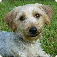 Adopt A Pet :: Gidget - Mocksville, NC