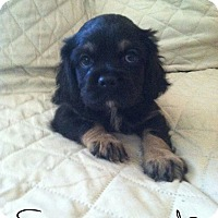 Adopt A Pet :: SCREECH - Rancho Cucamonga, CA