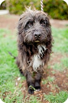 Tibetan Terrier/Havanese Mix Dog for adoption in San Diego, California - Kilt