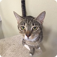 Domestic Shorthair Cat for adoption in Cashiers, North Carolina - Pheonix