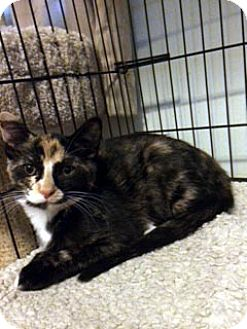 Calico Cat for adoption in Overland Park, Kansas - Tilly