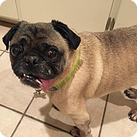 Pug Dog for adoption in Grapevine, Texas - Caleb