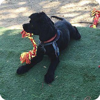 Spaniel (Unknown Type) Mix Dog for adoption in Toluca Lake, California - Joe Perry