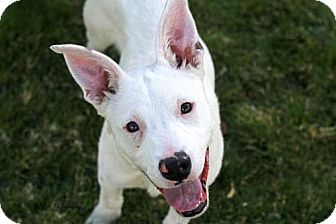 Australian Cattle Dog Puppy for adoption in Salt Lake City, Utah - Lulu