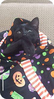 Domestic Shorthair Kitten for adoption in Winterville, North Carolina - SALEM