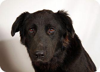 Labrador Retriever/Flat-Coated Retriever Mix Dog for adoption in St. Louis, Missouri - August LabRetriever