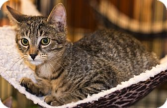 Domestic Shorthair Kitten for adoption in Mooresville, North Carolina - A..  Freddy