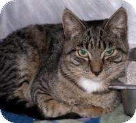 Domestic Shorthair Cat for adoption in El Cajon, California - Daryl