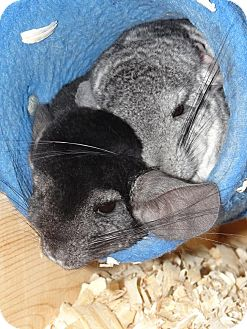 Chinchilla for adoption in Virginia Beach, Virginia - Hershey & Cheerio