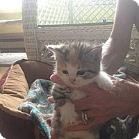 Adopt A Pet :: Scarlet - Tarboro, NC