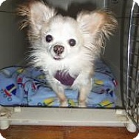 Adopt A Pet :: Lilly White - Shawnee Mission, KS