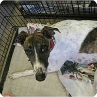 Adopt A Pet :: Tina Fey (Boc's Tina Fey) - Chagrin Falls, OH