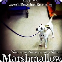 Adopt A Pet :: Marshmellow - Naples, FL