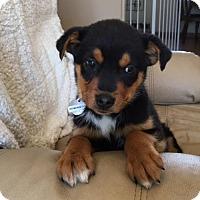 Adopt A Pet :: Vp litter - Remington - Livonia, MI