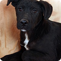 Adopt A Pet :: Panther Lab Shepherd - St. Louis, MO