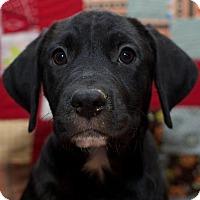 Adopt A Pet :: Cody - Jay, NY