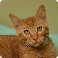Domestic Shorthair Cat for adoption in Hastings, Nebraska - Shrek