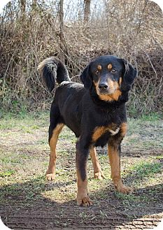 Shepherd (Unknown Type)/Coonhound (Unknown Type) Mix Dog for adoption in Bristol, Tennessee - Lenny