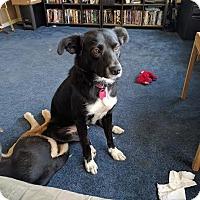 Adopt A Pet :: Shmi-Pending - Saskatoon, SK