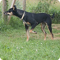 Shepherd (Unknown Type) Mix Dog for adoption in Delaware, Ohio - Batavia