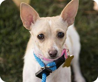 Chihuahua Dog for adoption in Salt Lake City, Utah - Taffeta
