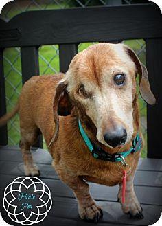 Dachshund Dog for adoption in New Boston, Michigan - Peanut