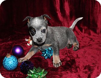 Australian Cattle Dog Mix Puppy for adoption in West Milford, New Jersey - MAGYK
