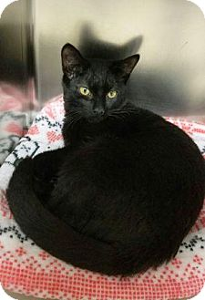 Domestic Shorthair Cat for adoption in Manahawkin, New Jersey - LUCKY
