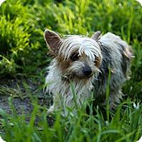 Adopt A Pet :: Muffin - Auburn, CA