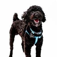 Adopt A Pet :: Morlock - Austin, TX