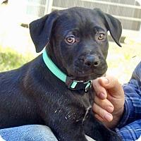 Adopt A Pet :: Linus - Allen town, PA