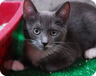 Domestic Shorthair Kitten for adoption in Lunenburg, Massachusetts - Fancy #1