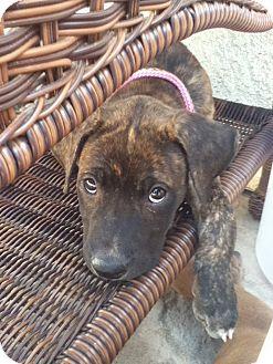 Dutch Shepherd/Labrador Retriever Mix Puppy for adoption in Torrance, California - Nena