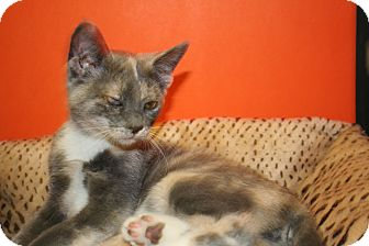 Domestic Shorthair Kitten for adoption in SILVER SPRING, Maryland - CAROLINA