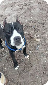 American Pit Bull Terrier Mix Puppy for adoption in bridgeport, Connecticut - Howie