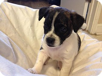English Bulldog/Terrier (Unknown Type, Medium) Mix Puppy for adoption in Torrance, California - JOEY