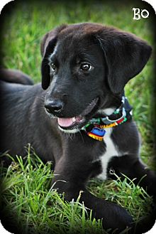 Great Dane/Labrador Retriever Mix Puppy for adoption in Glastonbury, Connecticut - Great Dane/Lab Mix Puppies