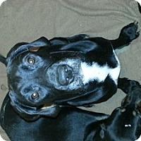 Adopt A Pet :: Goliath - Rocky Mount, NC
