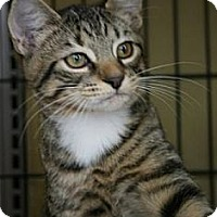 Adopt A Pet :: AngelCat - Frederick, MD