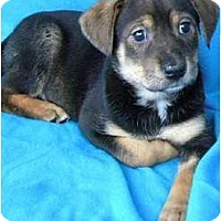 Adopt A Pet :: Bebop - Hagerstown, MD