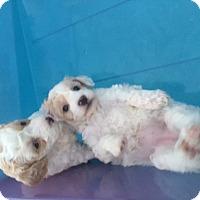 Adopt A Pet :: puppy - conroe, TX