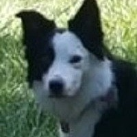 Border Collie Dog for adoption in Minerva, Ohio - Cooper