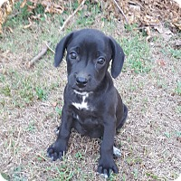Adopt A Pet :: SIRI - EDEN PRAIRIE, MN