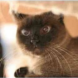 Photo 4 - Siamese Cat for adoption in New York, New York - Mina