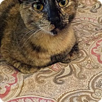 Domestic Shorthair Cat for adoption in Wichita Falls, Texas - Kit Kat