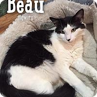 Adopt A Pet :: Beau - Merrifield, VA