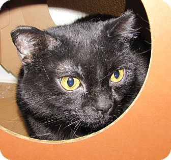 Domestic Shorthair Cat for adoption in Woodstock, Illinois - Belinda