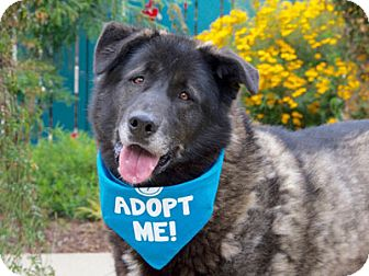 Husky/Newfoundland Mix Dog for adoption in Pacific Grove, California - Felix