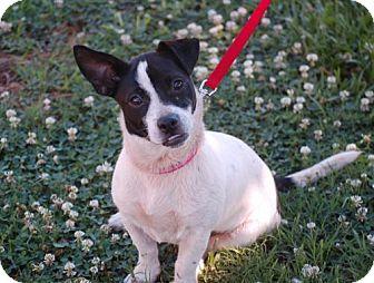 Boston Terrier Mix Puppy for adoption in Winder, Georgia - Violet